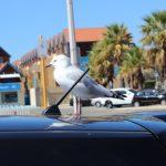 車に鳥のフンが付いてる…でも擦っちゃダメ!綺麗に落とす方法