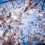 春はお花見ドライブ♪関東の桜の名所10選!駐車場・夜桜・周辺おすすめスポット・MAPも紹介