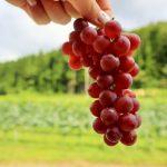 白ワインの仕込みで東北の自然の恵みを体験!―南三陸町に海の見えるワイナリーを作る「南三陸ワインプロジェクト」